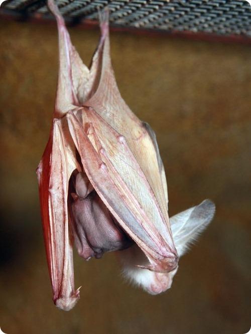 Австралийская ложновампирная летучая мышь из Перта