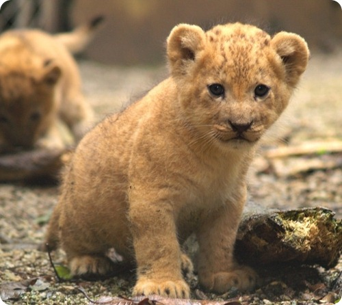 Львы из Колумбии