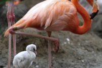 Неуклюжие птенцы фламинго!