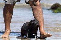 «Приёмный отец» для морского львёнка