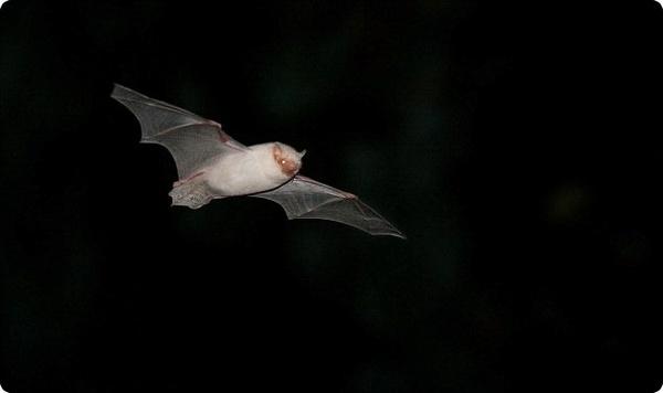 Белая летучая мышь на фоне ночного неба Великобритании