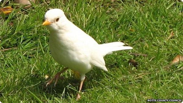 Белый дрозд из Ноттингемшира