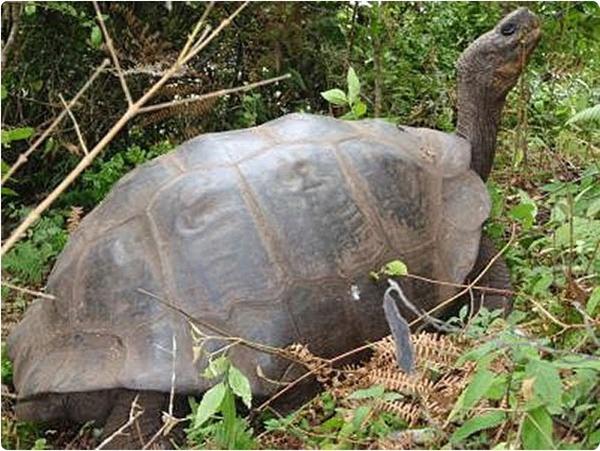 Живы ли слоновые черепахи с Галапагосских островов?