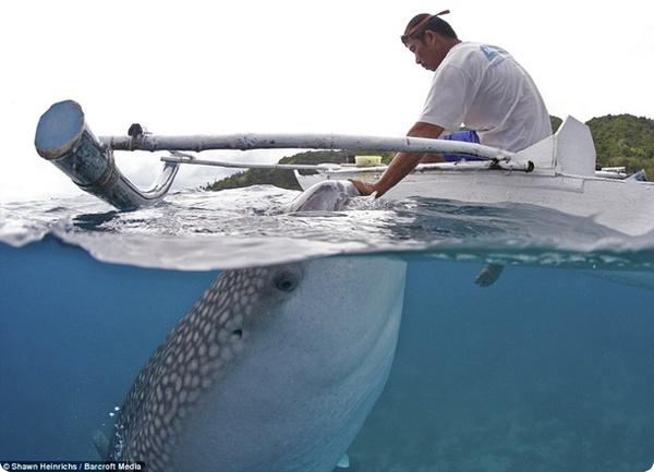 Филиппинские рыбаки кормят китовых акул с рук!