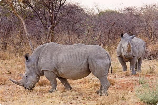 Загадочная походка носорога