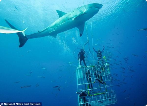 Белые акулы: на расстоянии вытянутой руки!