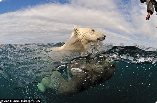 Неожиданная встреча с белым медведем