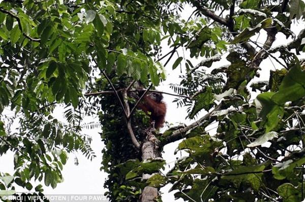 Чудесное спасение орангутангов!