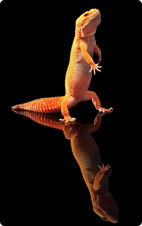 Танцующие гекконы