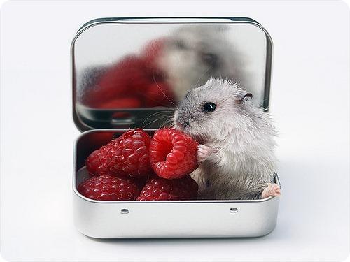 Мыши поют серенады возлюбленным