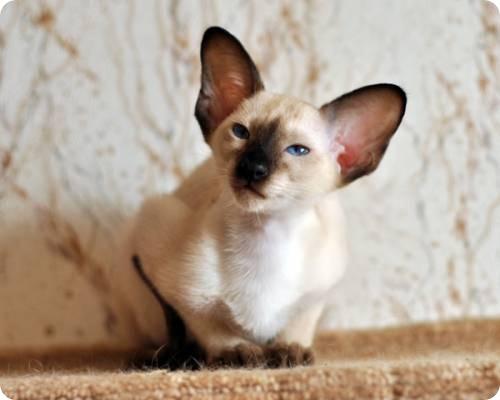 Сиамская кошка, фотографии сиамской кошки