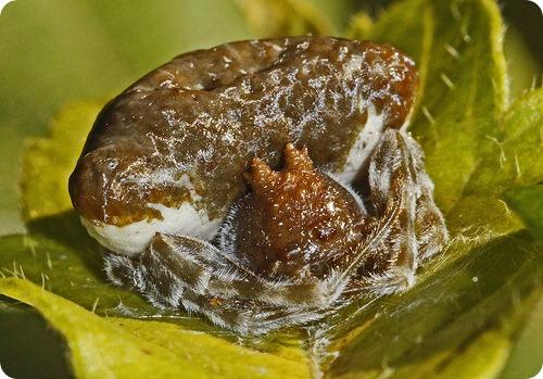 Паук Болас (лат. Mastophora cornigera)