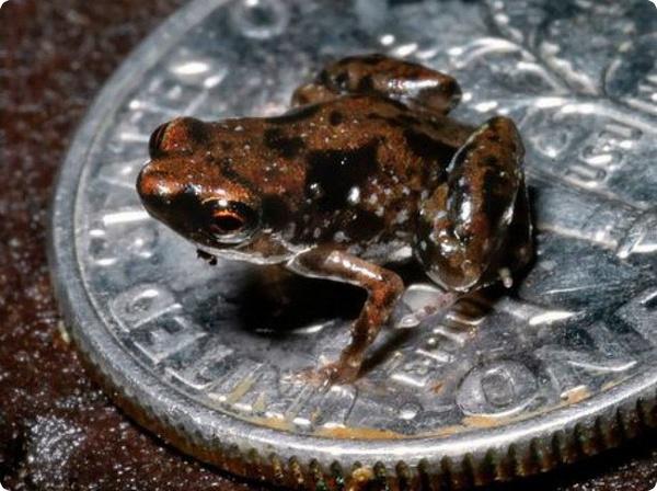 Обнаружена самая маленькая лягушка