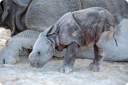 Первый индийский носорог в Майами