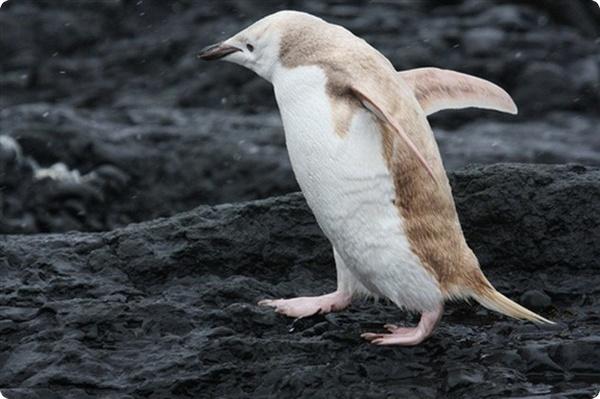 На севере Антарктиды обнаружили пингвина-альбиноса