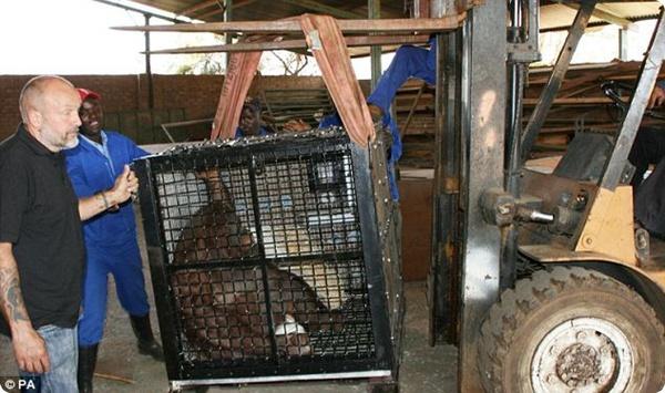 Толстый орангутанг потерял после диеты больше 20 кг