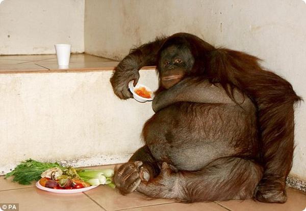 Толстый орангутанг потерял после диеты больше 20 кг - ZooPicture.ru