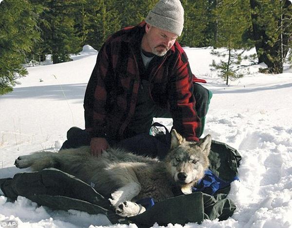 Молодой волк в поисках пары ушёл за 700 км