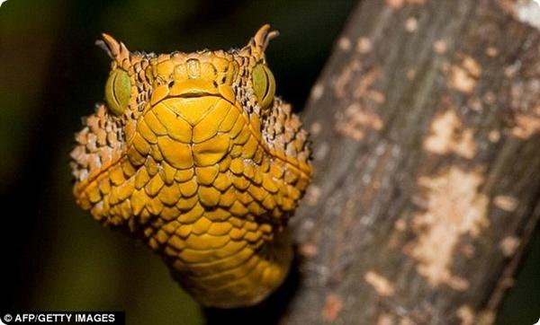 Новый вид змей - Рогатая Гадюка Матильды