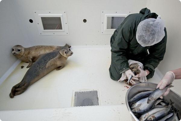 Голландский питомник заботится о тюленях-сиротах