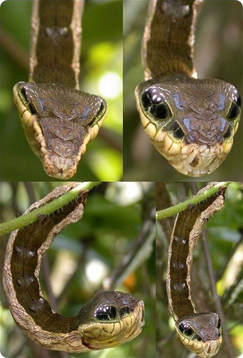 Гусеница змея — Hemeroplanes