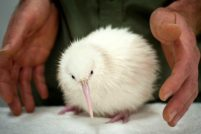 Белый киви из Новой Зеландии