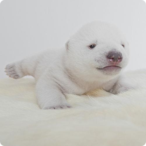 Белый медведь из Дании