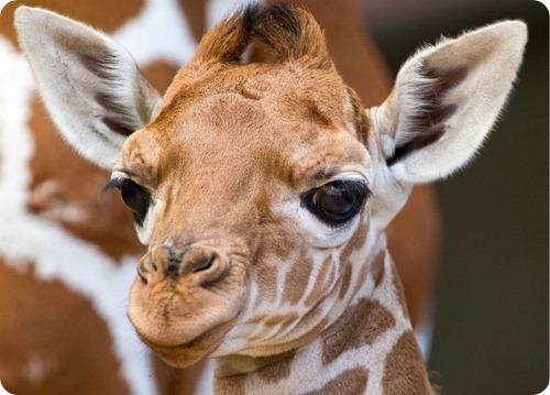 Сомалийский жираф из Флориды
