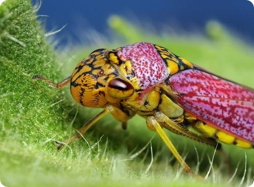 Цикадка Oncometopia orbona