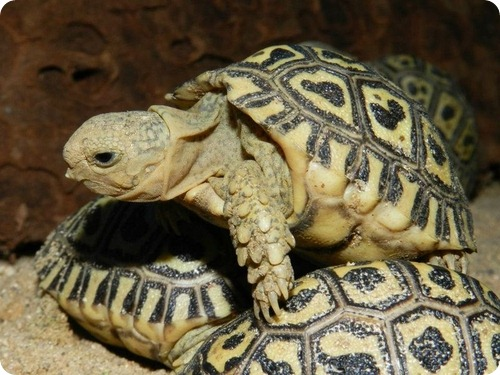 Леопардовые черепахи из Праги