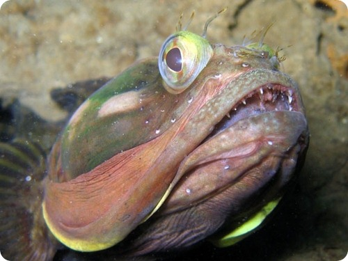 Щучья морская собачка Neoclinus blanchardi