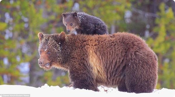 Медвежонок-наездник!