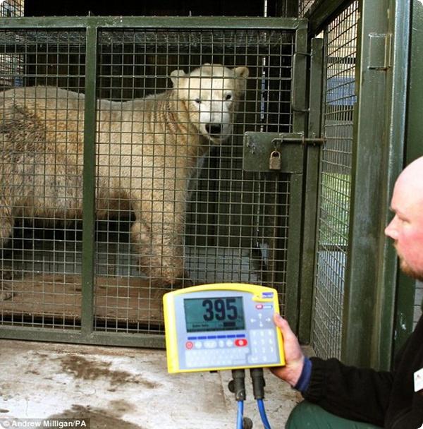Полярный медведь и каска