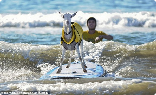 Козёл и сёрфинг