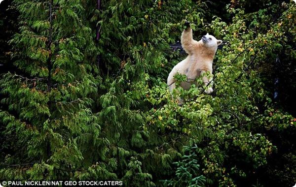 """""""Белый"""" чёрный медведь!"""