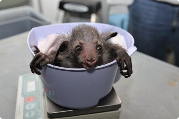 Самый странный примат в мире