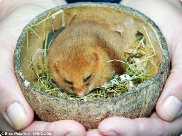 Спасённую соню поселили в скорлупе кокосового ореха