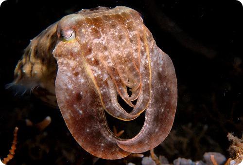 Каракатицы