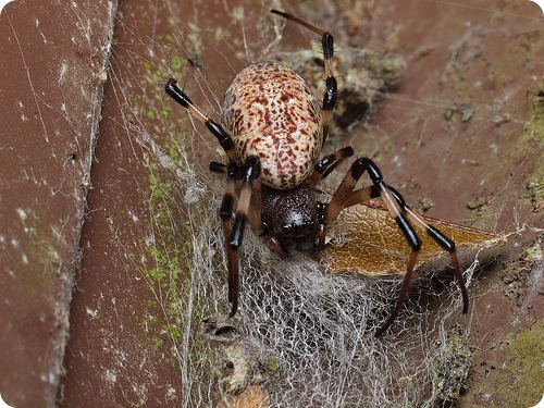 Зачем пауки кастрируют себя в разгар секса?
