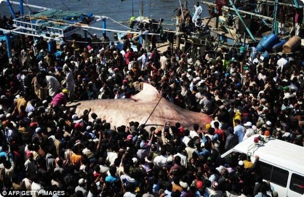 Пакистанские рыбаки выловили мёртвую китовую акулу