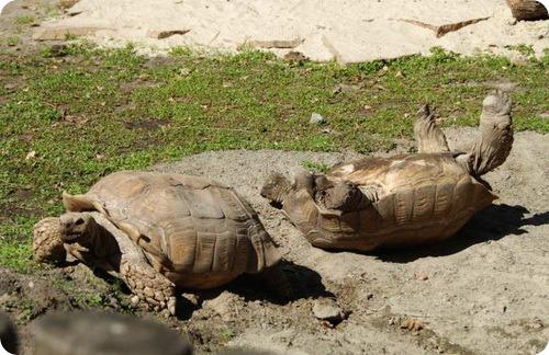 Невезучий влюбленный черепах