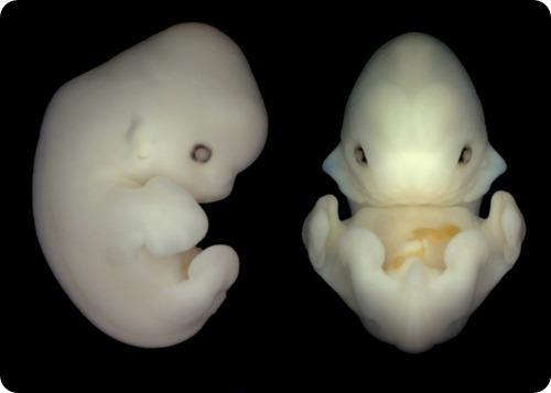Эмбриончики летучей мыши