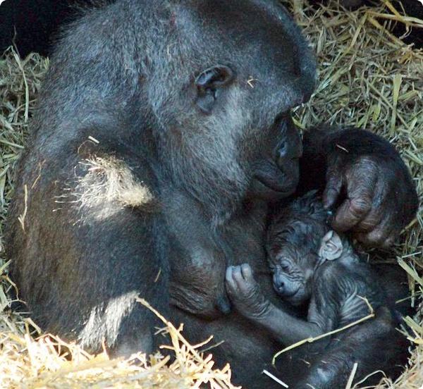 В Чессингтоне у горилл пополнение семейства