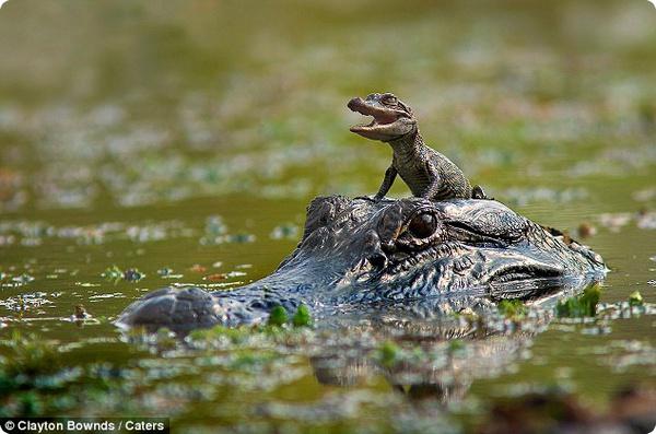 Малыш-аллигатор плавает, не замочив лапок