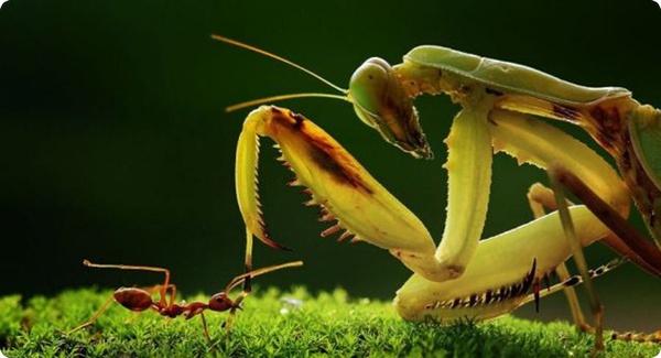 Как муравей победил богомола