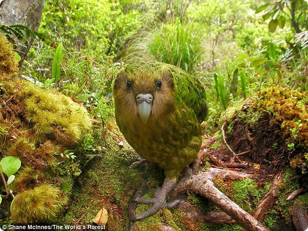 Почему вымирают попугаи какапо