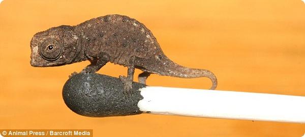 Микрохамелеон Brookesia micra