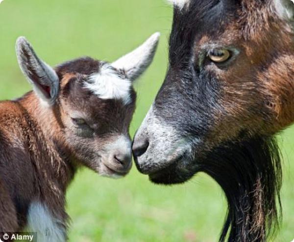 У козлят есть не только язык, но и диалекты