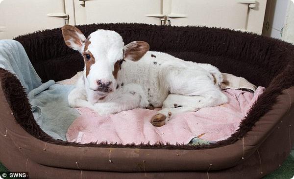 Самый маленький теленок в Англии спит в собачьей корзине