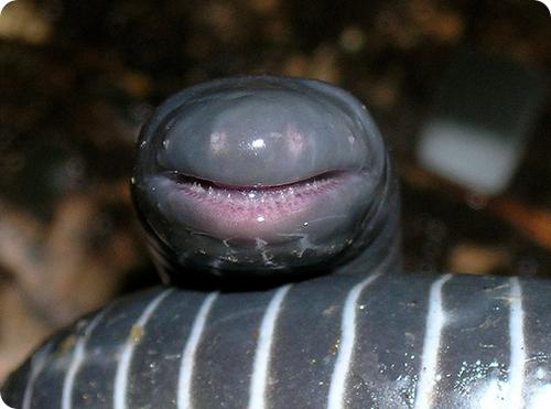 Кольчатая червяга – я ем кожу и улыбаюсь